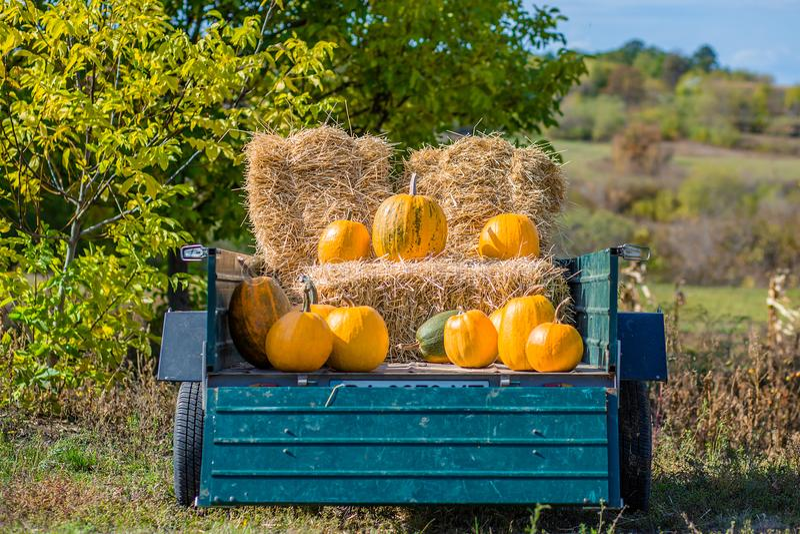 Pumpkin harvest. Organic vegetables. Bright Autumn Colors stock images