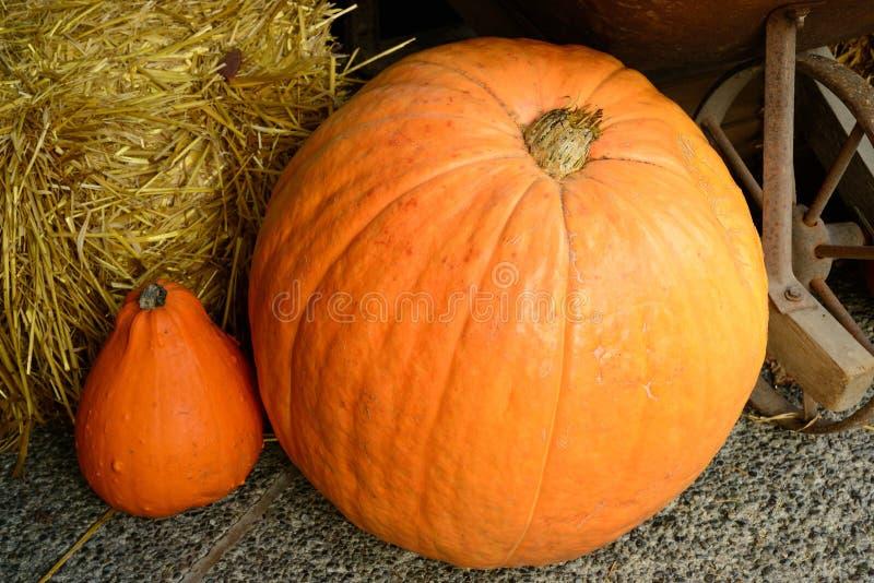 Pumpkin in the harvest season stock images