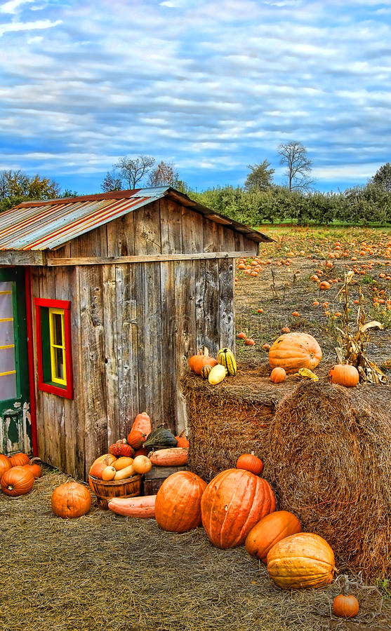 Pumpkin Harvest Season on the Farm royalty free stock images