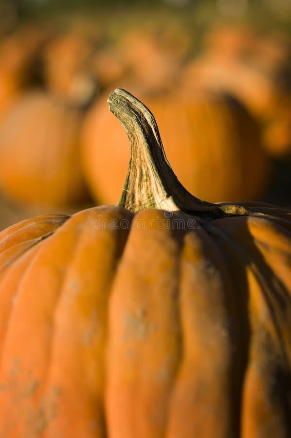 Pumpkin patch stock images