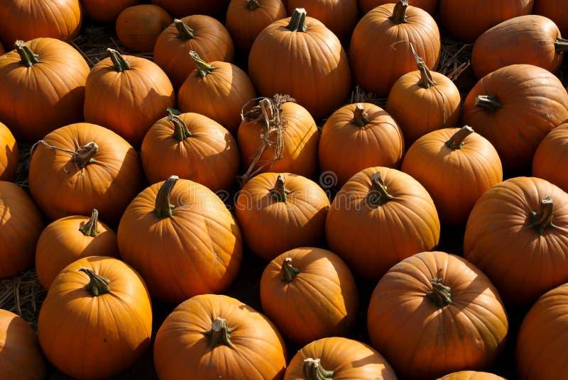 Pumpkin Patch Free Stock Photo