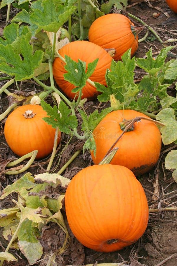 Free Pumpkin Patch Stock Photos - 1297003