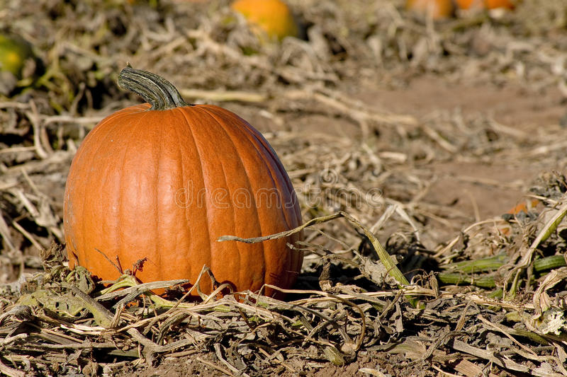 Download Pumpkin Patch stock image. Image of field, fresh, harvest - 16151715