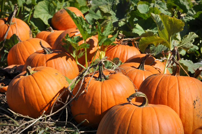 Download Pumpkin Patch stock photo. Image of garden, field, green - 16512818