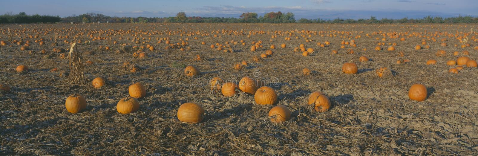 Download Pumpkin Patch stock photo. Image of growth, exterior - 23171186