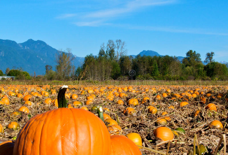 Download Pumpkin patch stock photo. Image of thanksgiving, halloween - 27646632