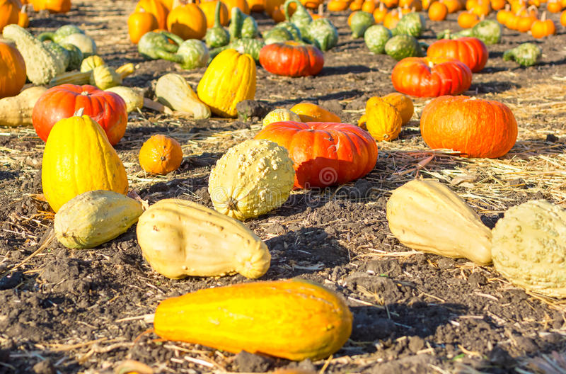 Pumpkin patch in California. royalty free stock images