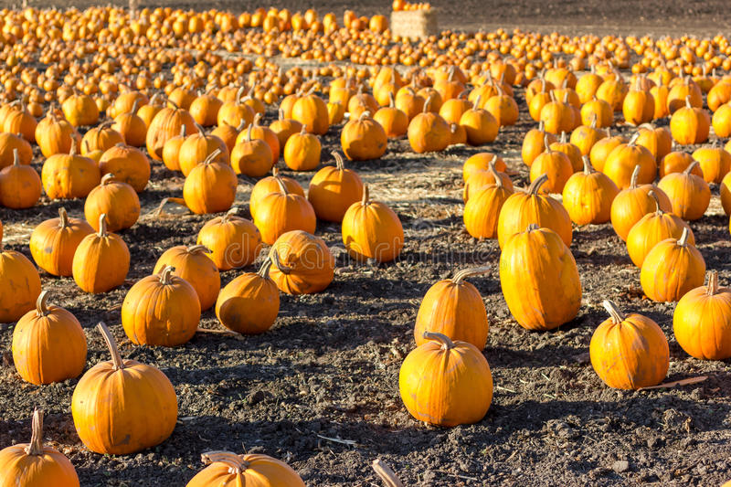Pumpkin patch in California. royalty free stock photos