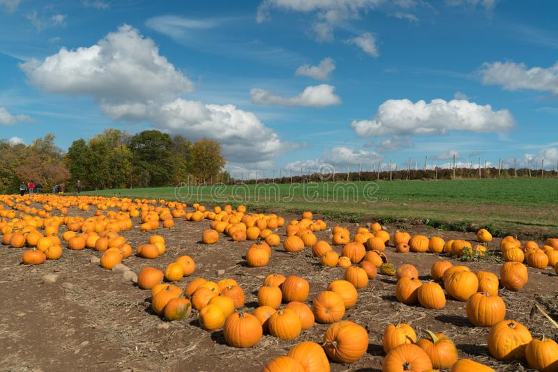 Pumpkin patch with cloudy blue skies with room for copy stock images