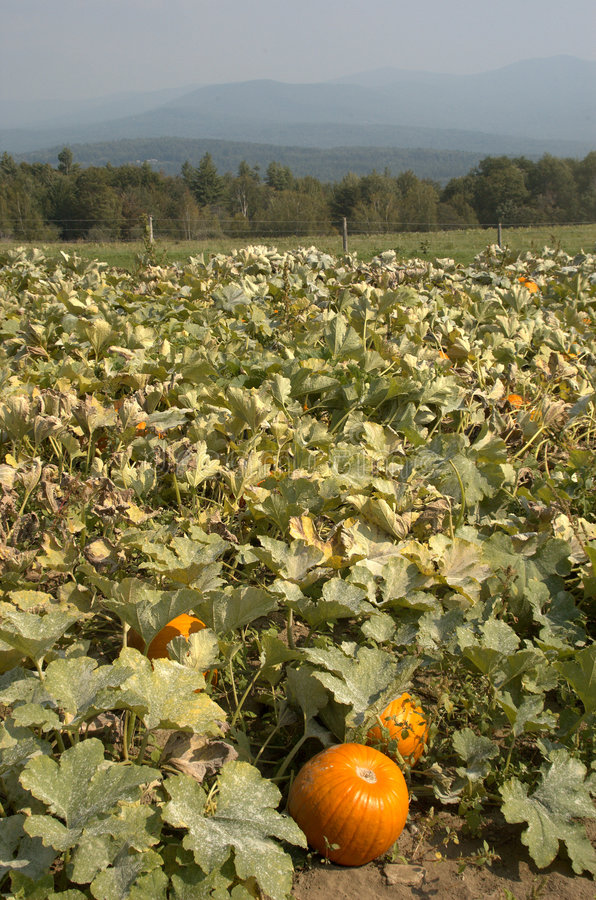 Pumpkin patch with distant mountains royalty free stock photos