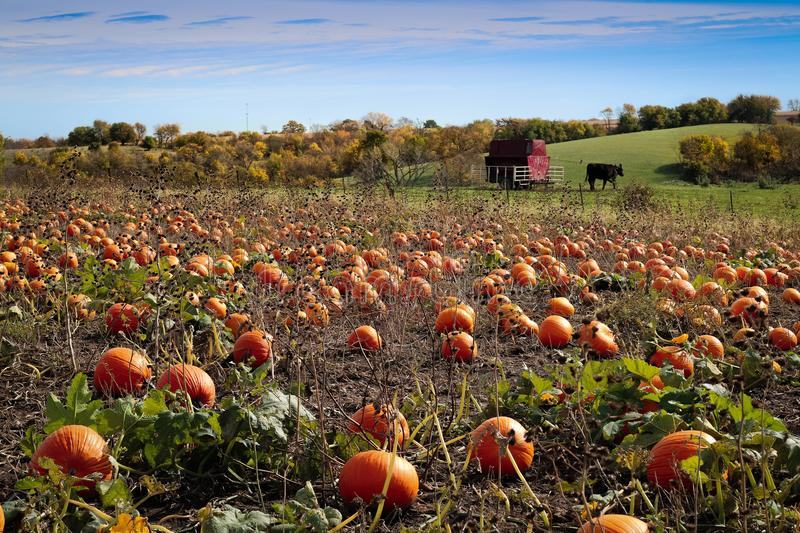 Pumpkin Patch and Fall Foliage royalty free stock photos