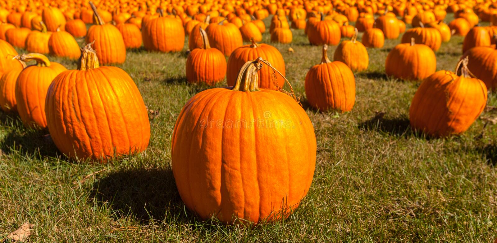 Pumpkin patch field with bright orange pumpkins on green grass stock photo