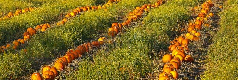 Pumpkin Patch Field stock photo