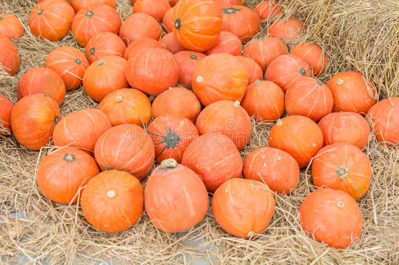 Pumpkin patch in a field of straw background royalty free stock photo