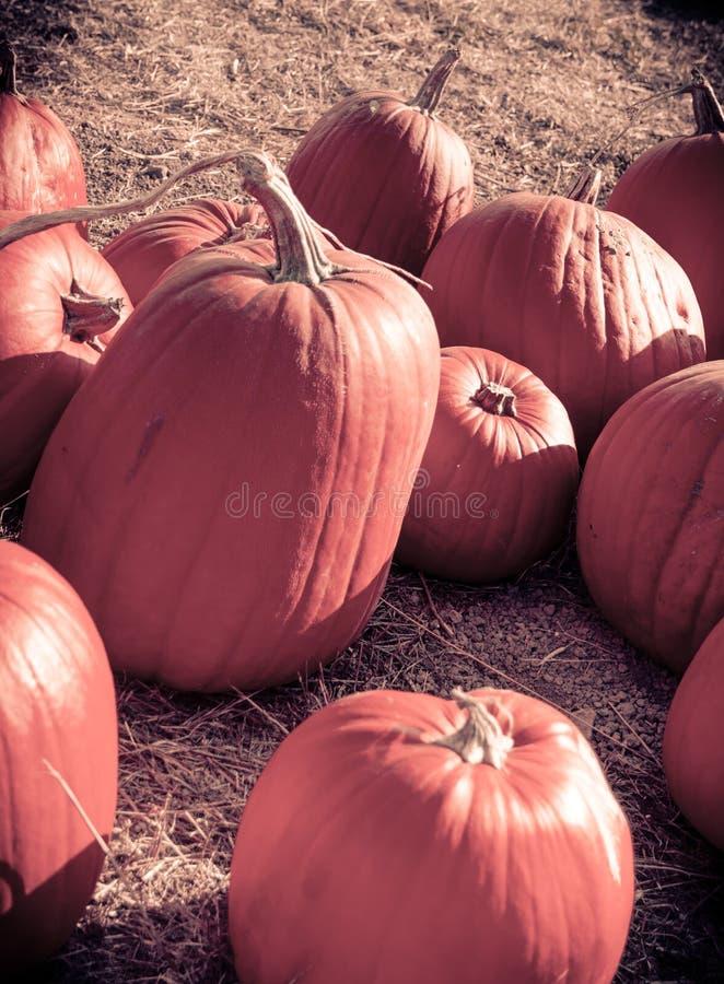 Pumpkin patch. stock image