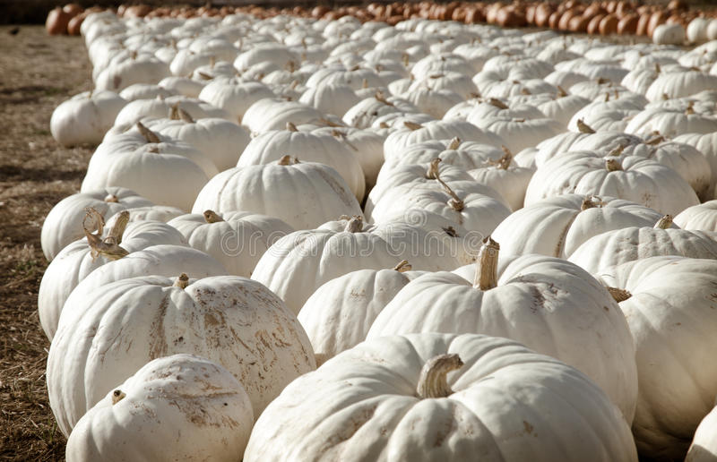 Pumpkin patch. royalty free stock images