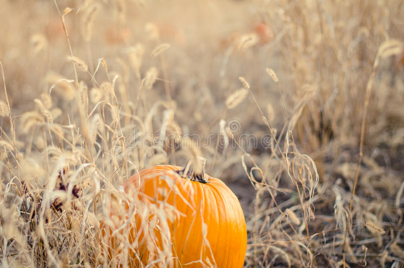 Pumpkin in a patch stock photos