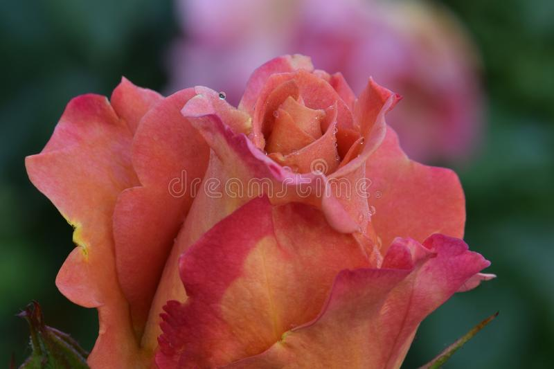 Pumpkin Patch Rose Flower royalty free stock image