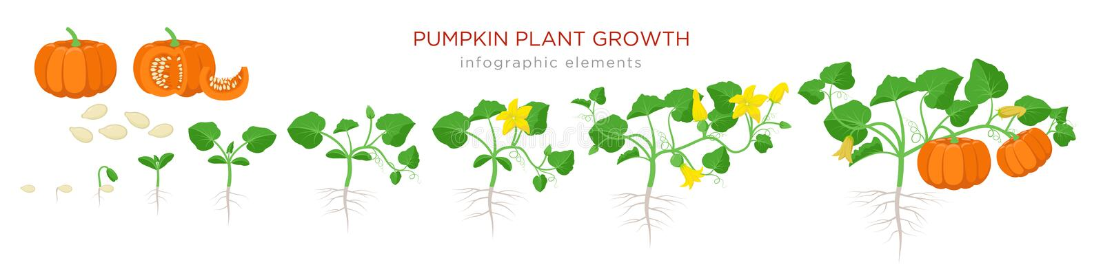 Pumpkin plant growth stages infographic elements in flat design. Planting process of Cucurbita from seeds, sprout to stock illustration
