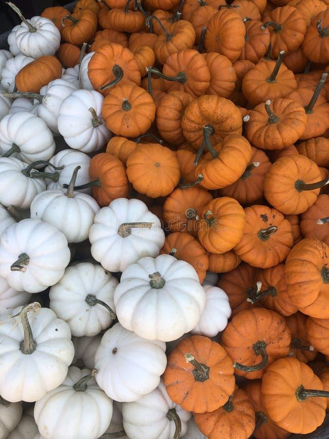 Pumpkin Season royalty free stock image