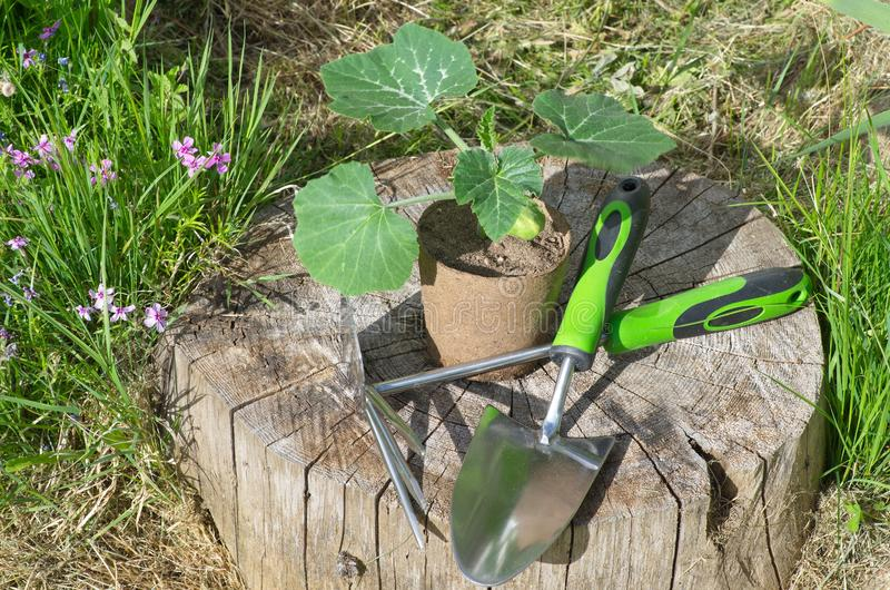 Seedlings of pumpkin in a peat pot and garden tools. Pumpkin seedlings in a peat pot and garden tools on a wooden stump in the garden royalty free stock photo