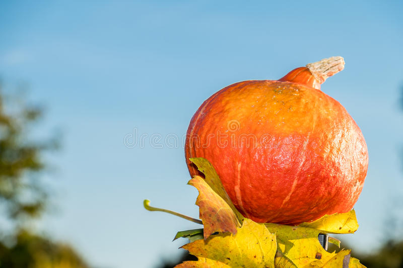 Download Pumpkin Under The Sun Stock Photo - Image: 83705516