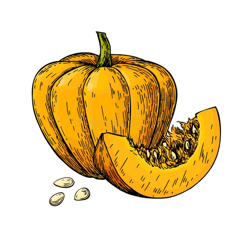 Pumpkin vector drawing. hand drawn object with sliced p stock illustration