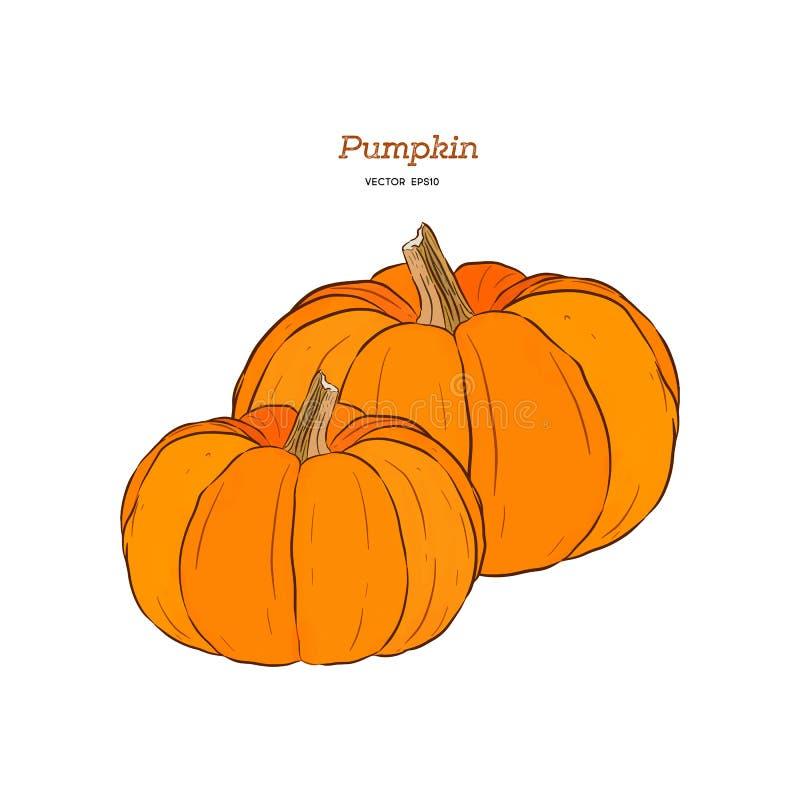 Vector hand drawn set illustration of pumpkin. royalty free illustration
