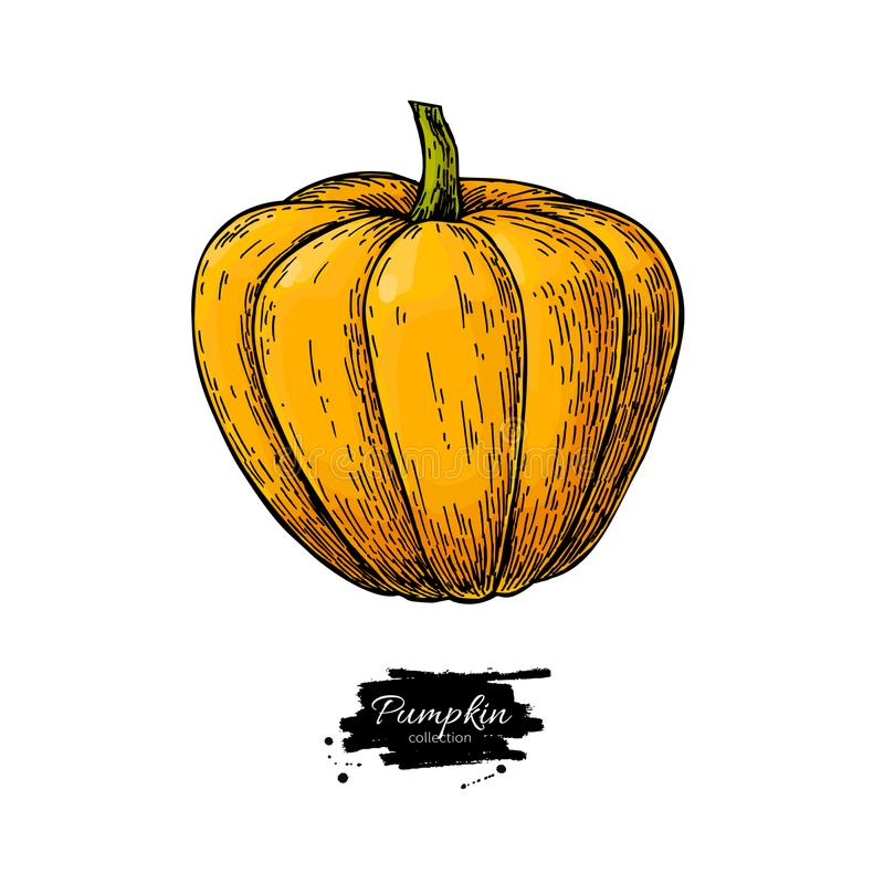 Pumpkin vector drawing. Isolated hand drawn object. Vegetable vector illustration