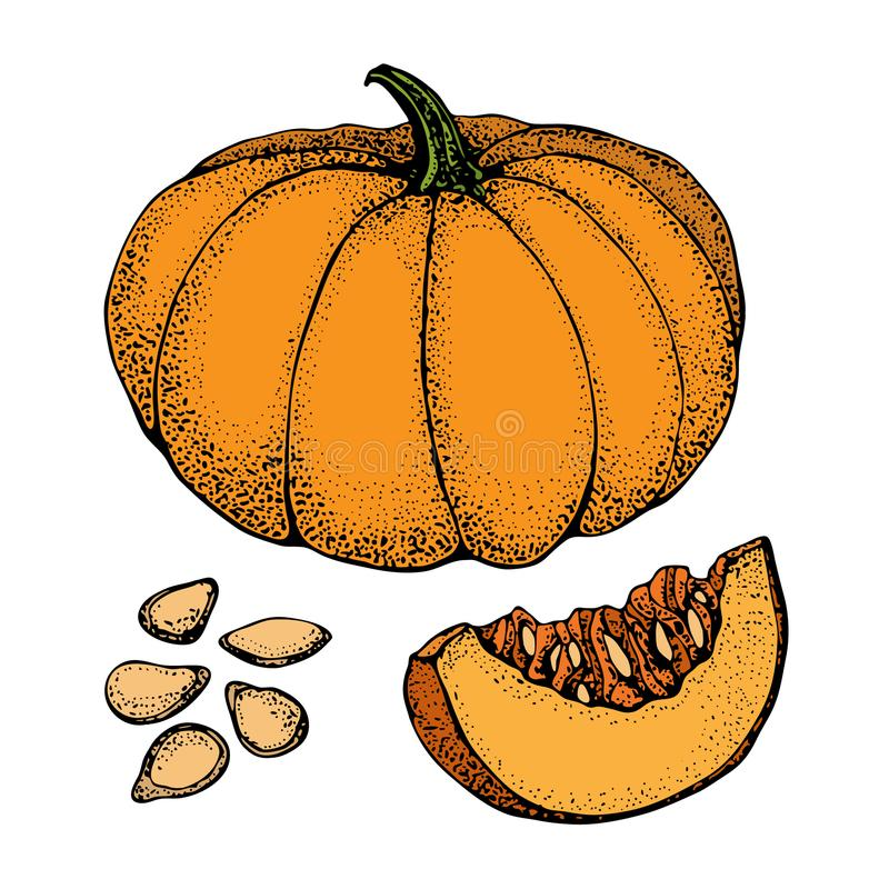 Pumpkin vector drawing set. Isolated hand drawn object with sliced piece and seeds. Vegetable cartoon style illustration. stock illustration