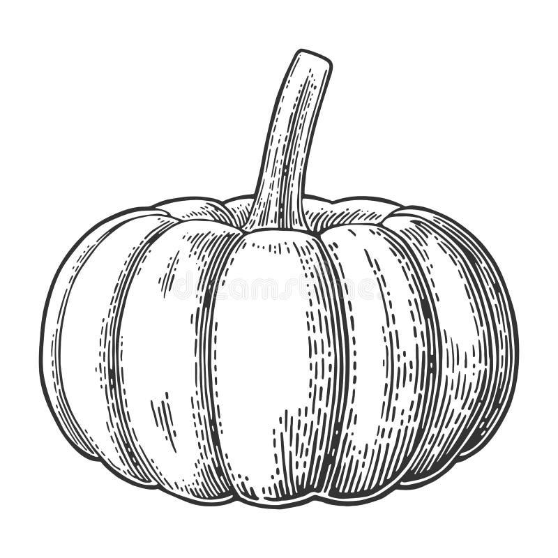 Pumpkin. Vector vintage engraving illustration. royalty free illustration