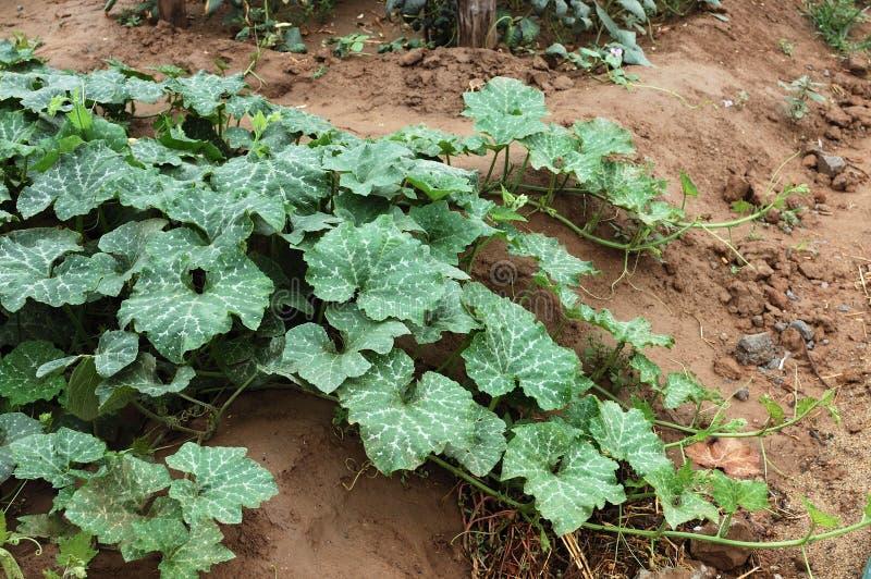 Pumpkin vine 3 stock photography