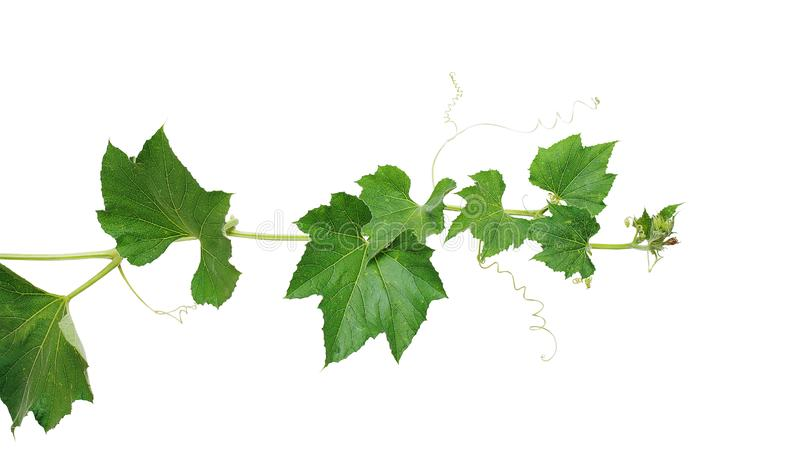 Pumpkin vine with green leaves and tendrils isolated on white background, clipping path included stock photo