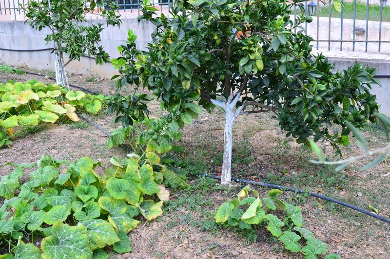 Pumpkin Vines Growing in Home Garden. Olive trees and sprawling pumpkin, or squash, vines growing in a rustic home garden. Self sufficient home grown organic stock photo