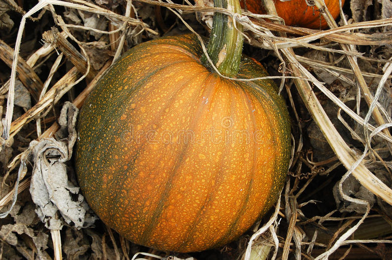 Pumpkin in Vines royalty free stock photos
