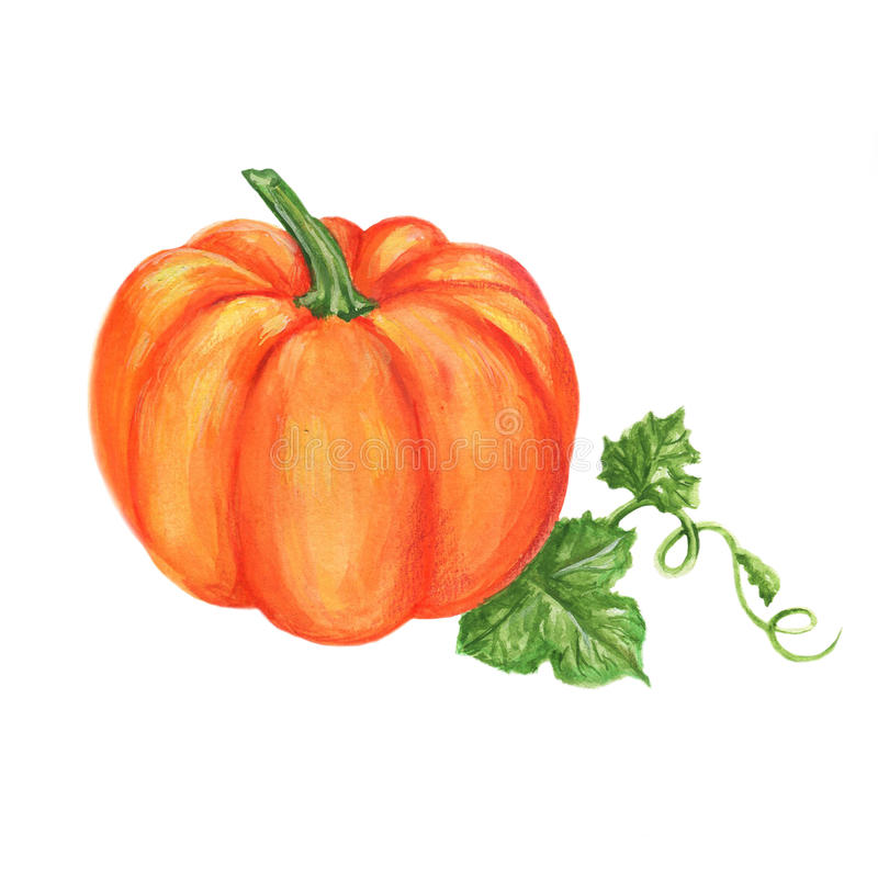 Pumpkin watercolor illustration isolated on white background, food ingredients for menu, card, farmer market, holiday. S vector illustration