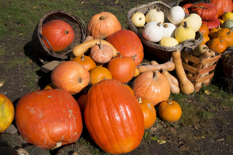 Pumpkin, zucchini, squash plants royalty free stock images