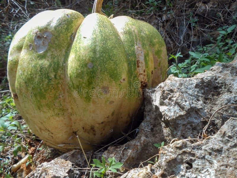 Pumpking wachsen durch den Felsen stockbilder