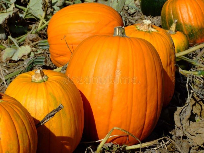 pumpkings стоковые изображения