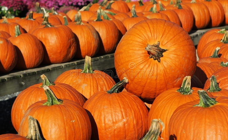 Pumpkins. Fresh pumpkins on marketplace at sunrise royalty free stock photo