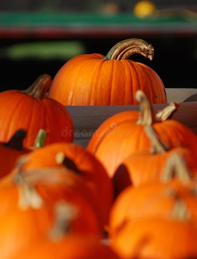 Free Pumpkins Royalty Free Stock Photography - 11231437
