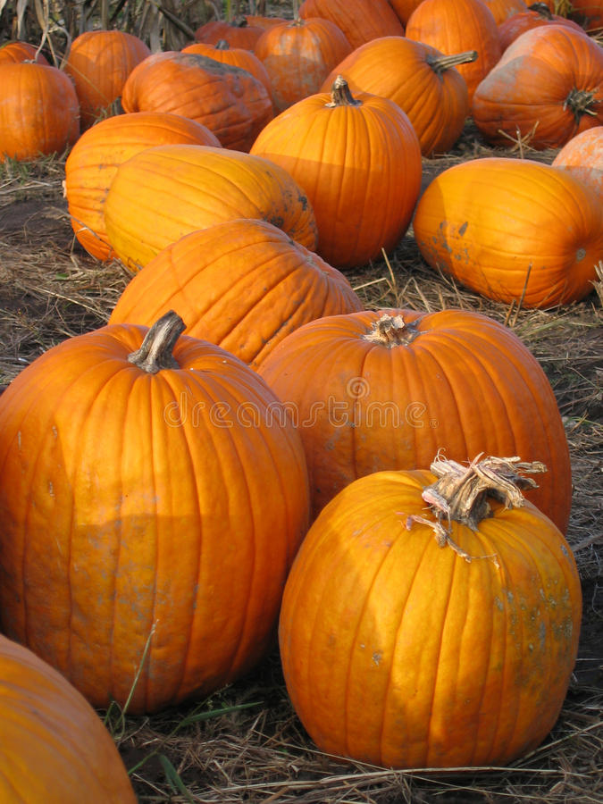 Free Pumpkins Royalty Free Stock Photography - 14594457