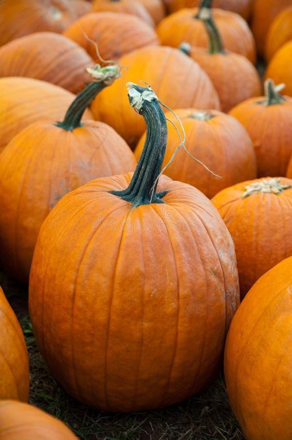 Free Pumpkins Royalty Free Stock Image - 16326376