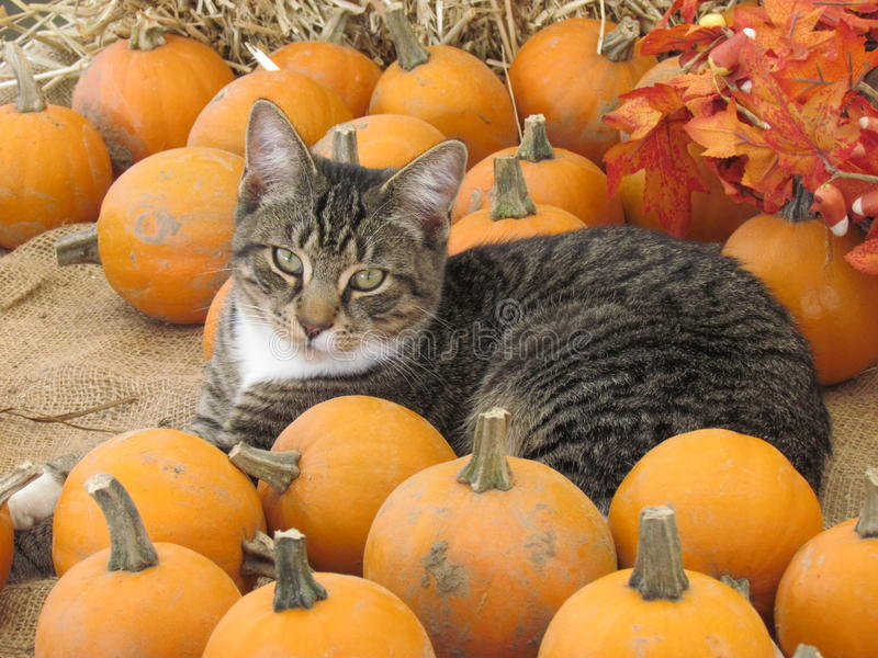 Pumpkins and a cat stock photography