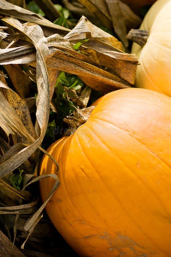 Pumpkins on Corn Stalks. A closeup of pumpkins on corn stalks stock photo
