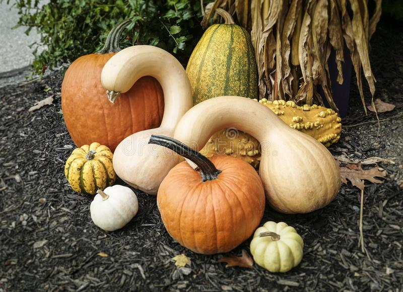 Pumpkins of different species in a decorative arrangement royalty free stock photography