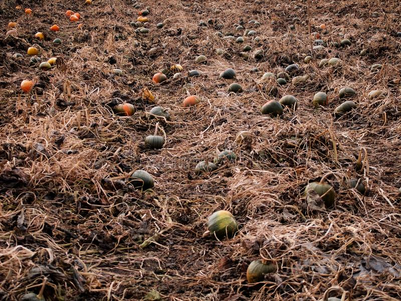 Pumpkins distributed on the ground as part of their harvest stock photos