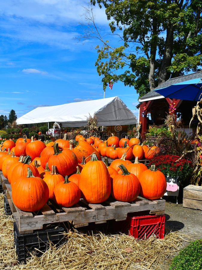 Pumpkins at a farm stand on a Fall day in Littleton, Massachusetts, Middlesex County, United States. New England Fall. Colorful orange pumpkins and surrounding stock photo