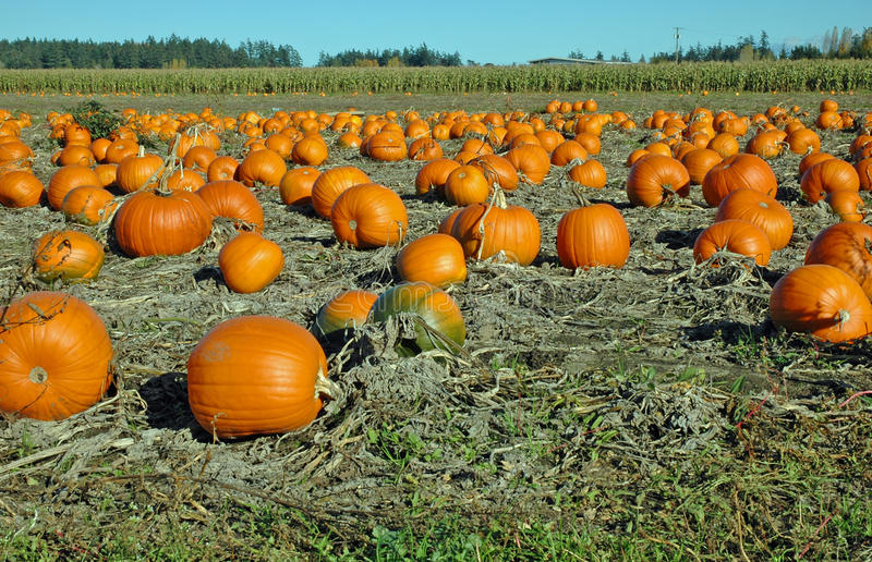 Pumpkins In The Field Stock Photography