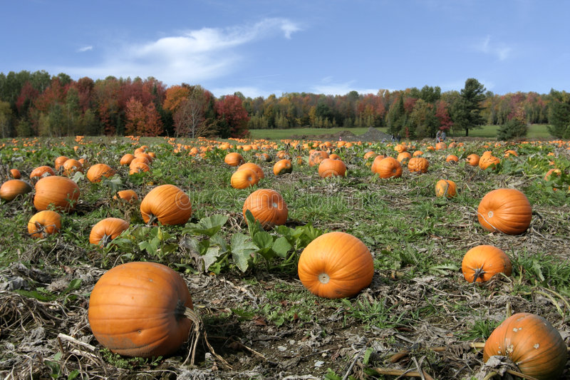 Pumpkins field stock images